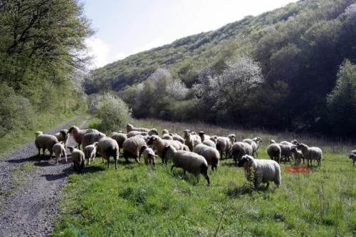 Schafe-1
